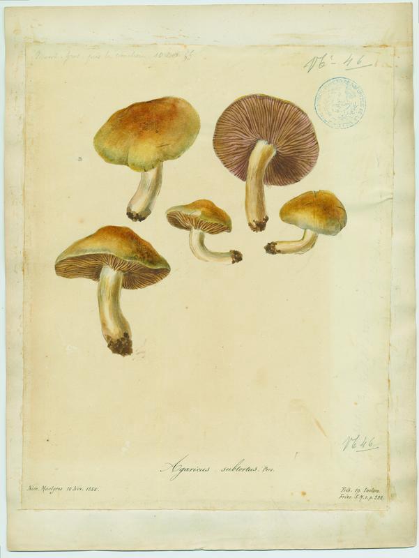 Cortinaire à odeur de cuir de Russie ; Cortinaire jaune olivacé ; champignon