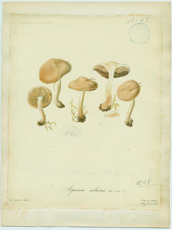 Cortinaire à odeur de cuir de Russie ; Cortinaire jaune olivacé ; champignon_0