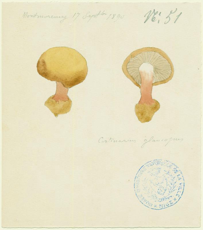 Cortinaire à pied glauque ; champignon