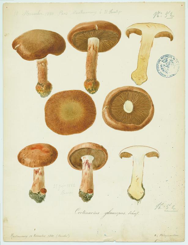 Cortinaire à pied glauque ; champignon_0