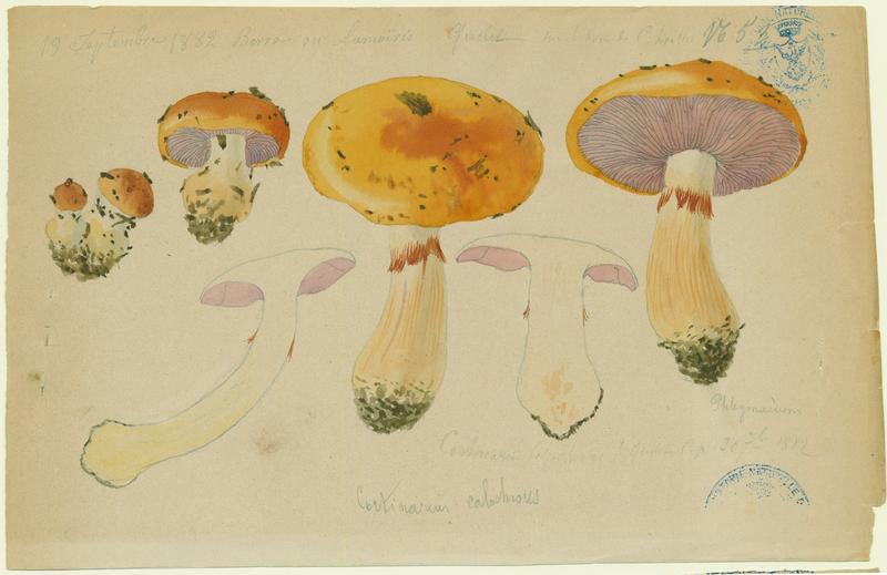 Cortinaire à belle couleur ; Cortinaire joli ; champignon_0