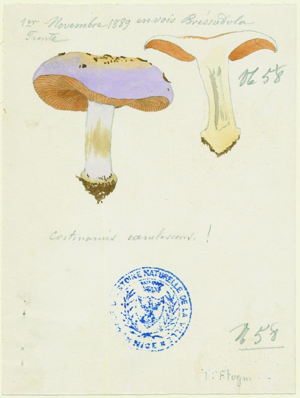 Cortinaire bleu ; champignon_0