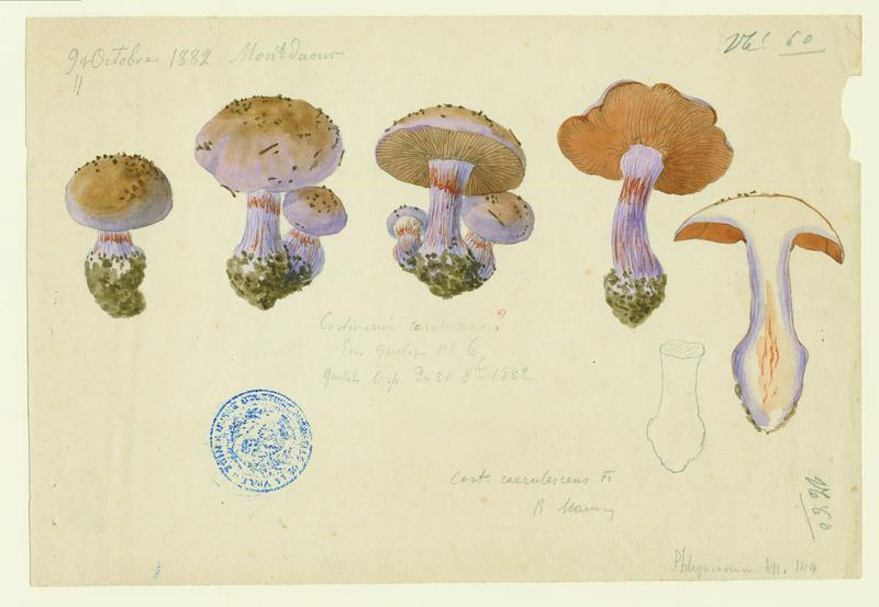 Cortinaire bleu ; champignon