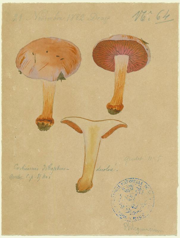 Cortinaire à deux couleurs ; champignon
