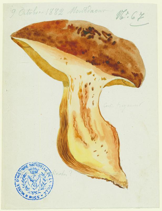 Cortinaire en forme de cône (?) ; champignon_0