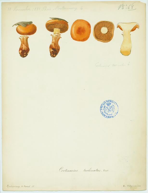 Cortinaire en forme de cône (?) ; champignon