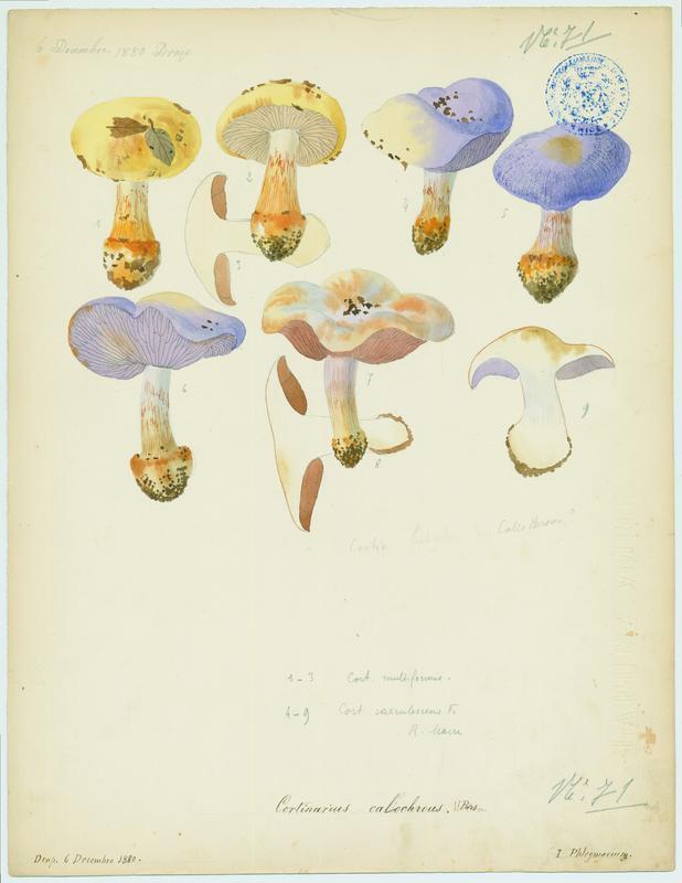 Cortinaire à belle couleur ; Cortinaire joli ; champignon