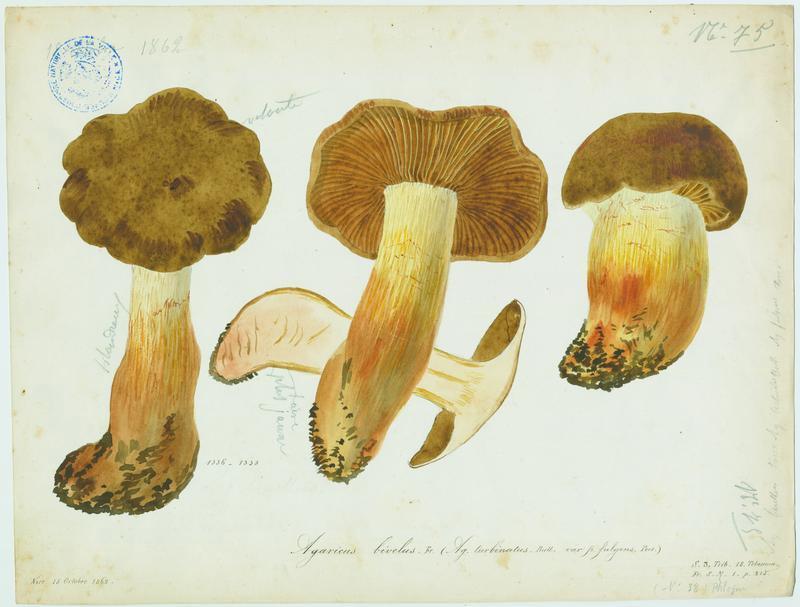 Cortinaire à deux voiles ; Cortinaire annelé ; champignon