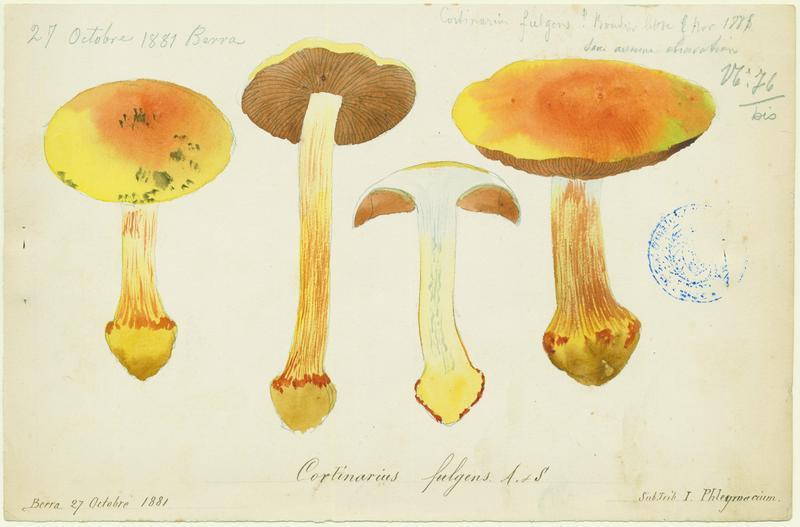 Cortinaire brillant (?) ; champignon_0