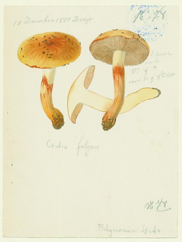 Cortinaire brillant (?); champignon