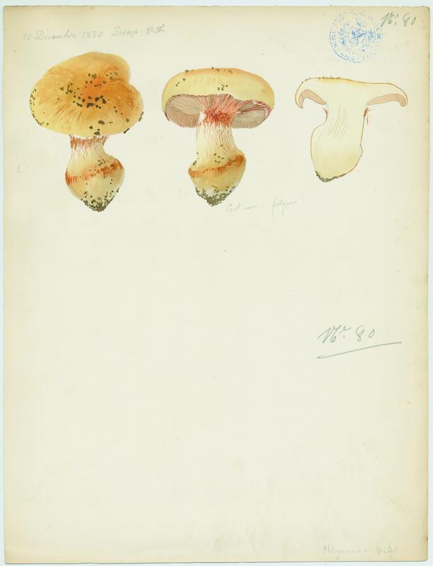 Cortinaire brillant (?) ; champignon