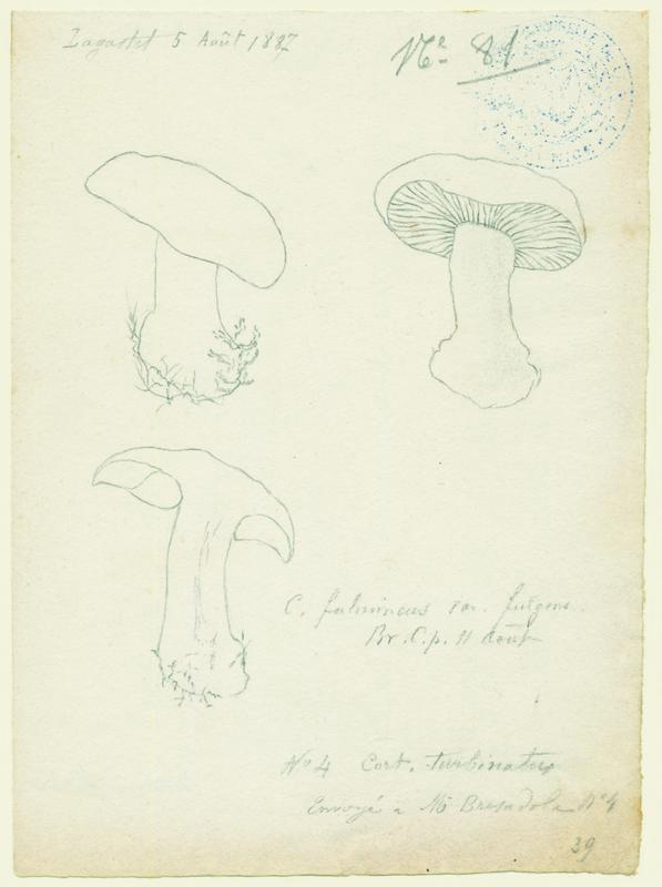 Cortinaire éclatant (?) ; champignon_0