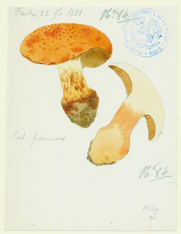 Cortinaire éclatant ; champignon_0