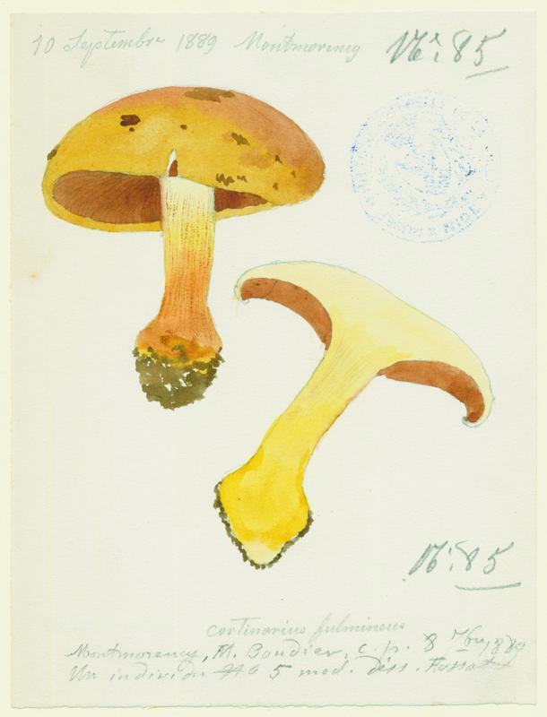 Cortinaire éclatant ; champignon