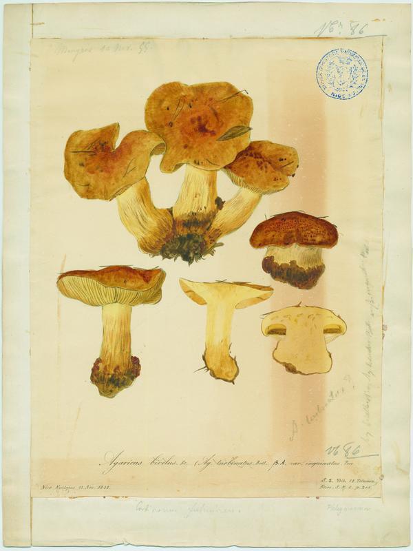 Cortinaire à deux voiles ; Cortinaire annelé ; champignon_0