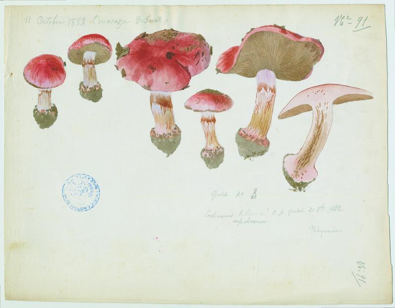 Cortinaire bulbeux ; champignon_0