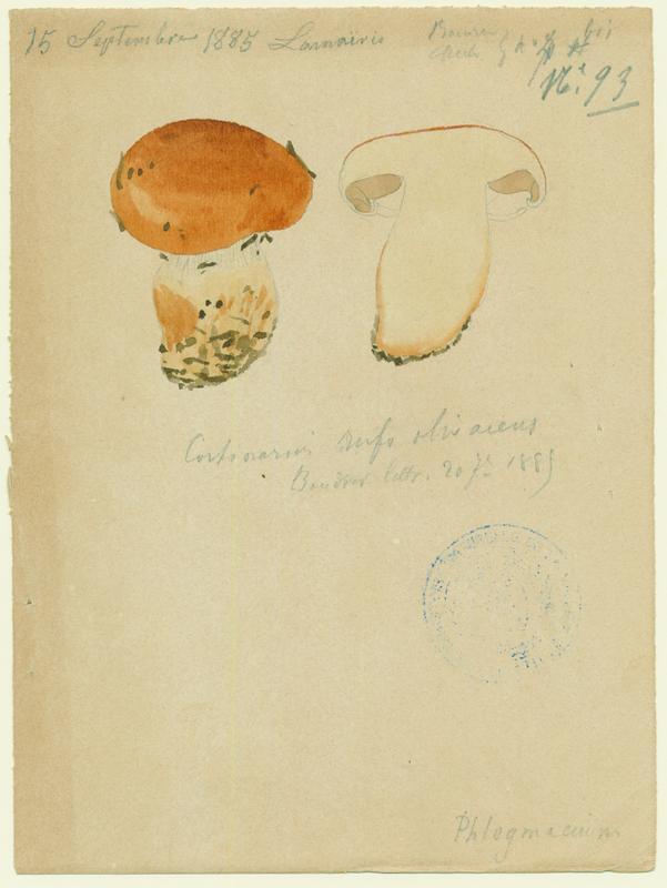 Cortinaire roux-olivâtre ; champignon_0