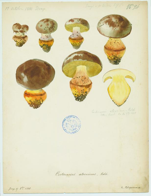 Cortinaire vert foncé ; champignon