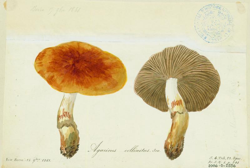 Agaric collinéen (?)  ; champignon_0