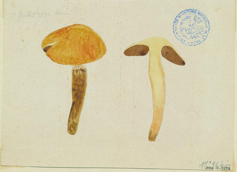 Agaric collinéen (?) ; champignon