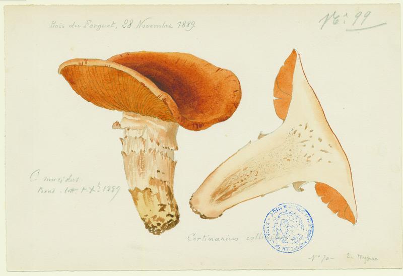 Cortinaire collinéen ; champignon