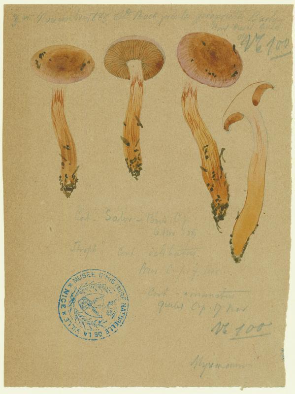 Cortinaire couleur de mer ; champignon