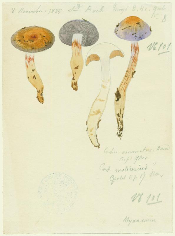Cortinaire ; champignon_0