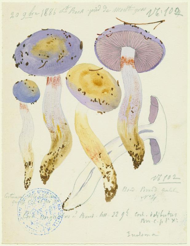 Cortinaire blanc-violet ; champignon