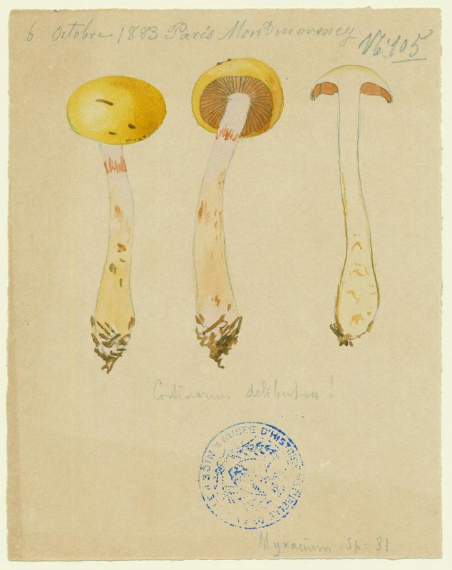 Cortinaire oint ; Cortinaire enduit ; Cortinaire à lames lilas ; champignon
