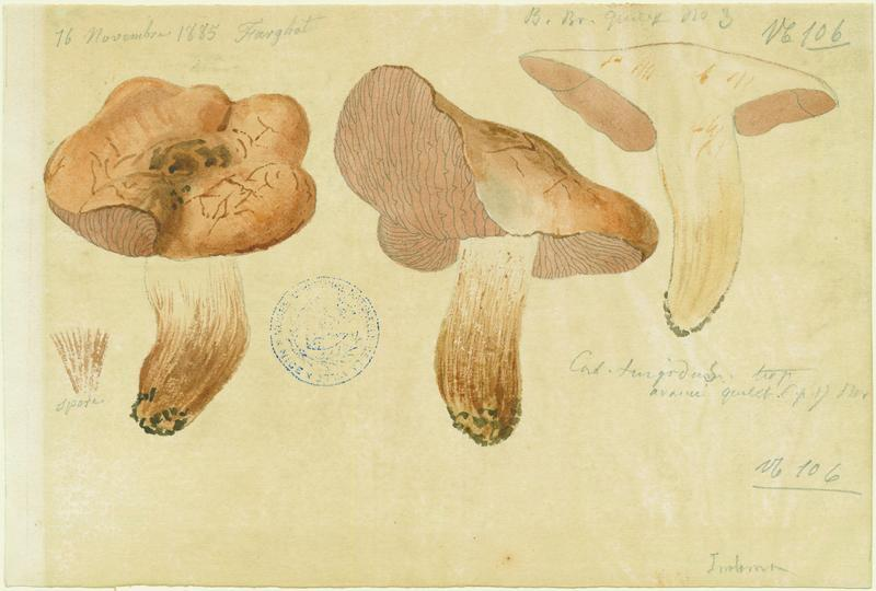 Cortinaire renflé ; champignon_0