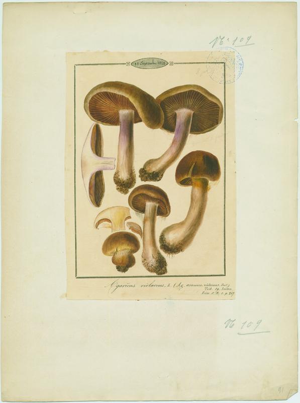 Cortinaire violet ; champignon
