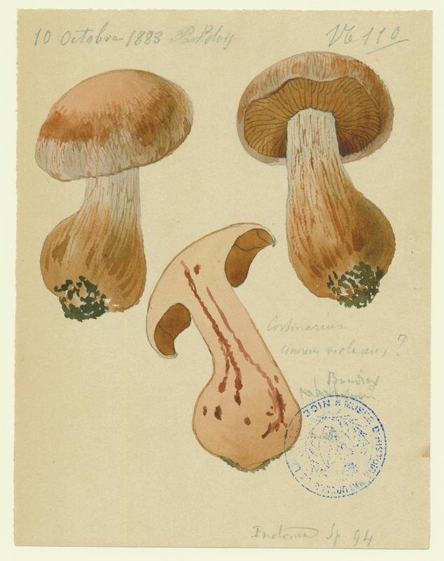 Cortinaire voliacé-cendré ; champignon_0