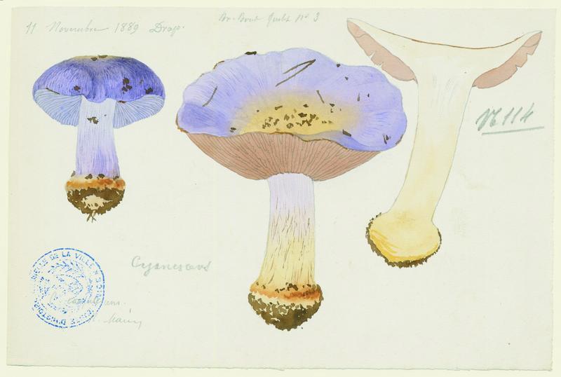 Cortinaire bleuissant ; champignon_0