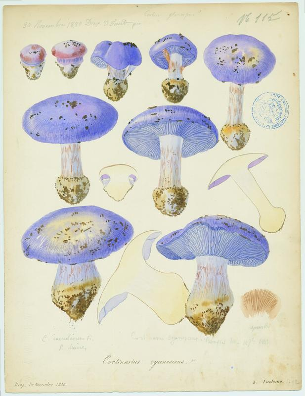 Cortinaire bleuissant ; champignon
