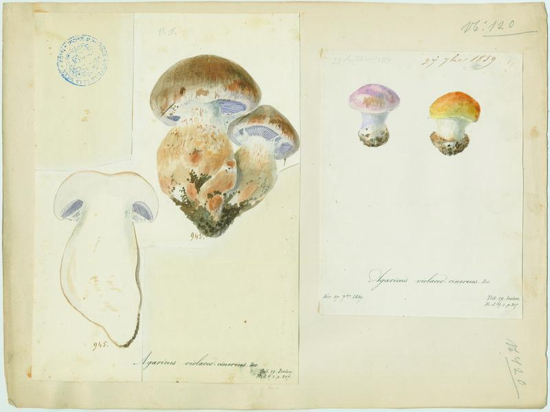 Agaric ;champignon