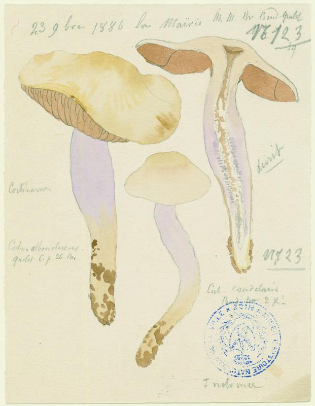 Cortinaire blanc-violet ; champignon_0