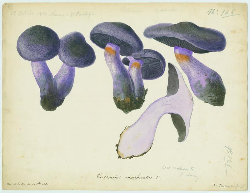 Cortinaire camphré ; Cortinaire à odeur de corne brûlée ; champignon_0