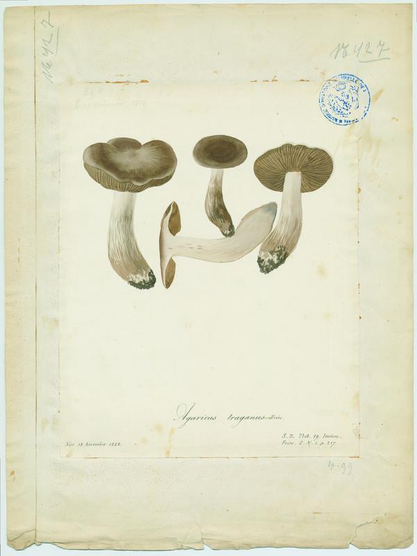 Cortinaire à odeur de poire ; champignon_0