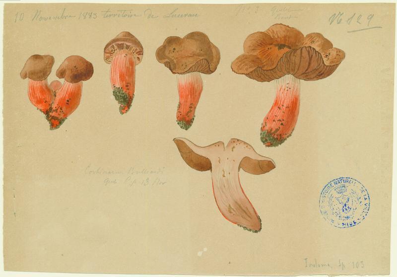 Cortinaire de Bulliard ; Cortinaire à pied de feu ; champignon