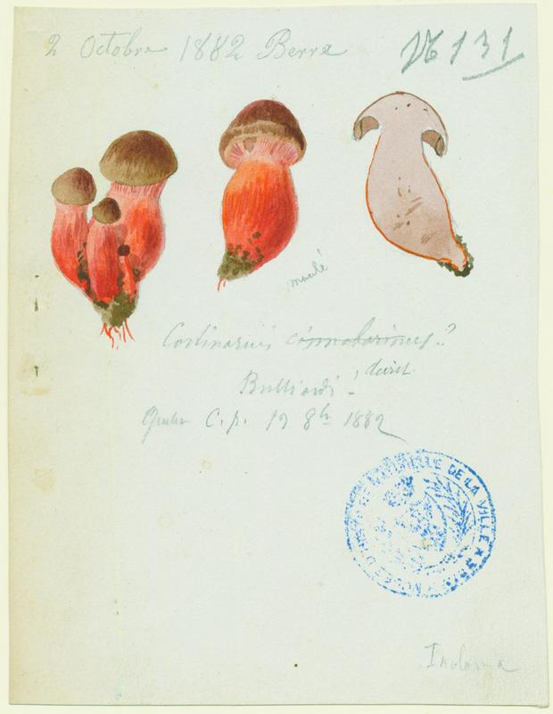 Cortinaire rouge cinabre ; champignon_0