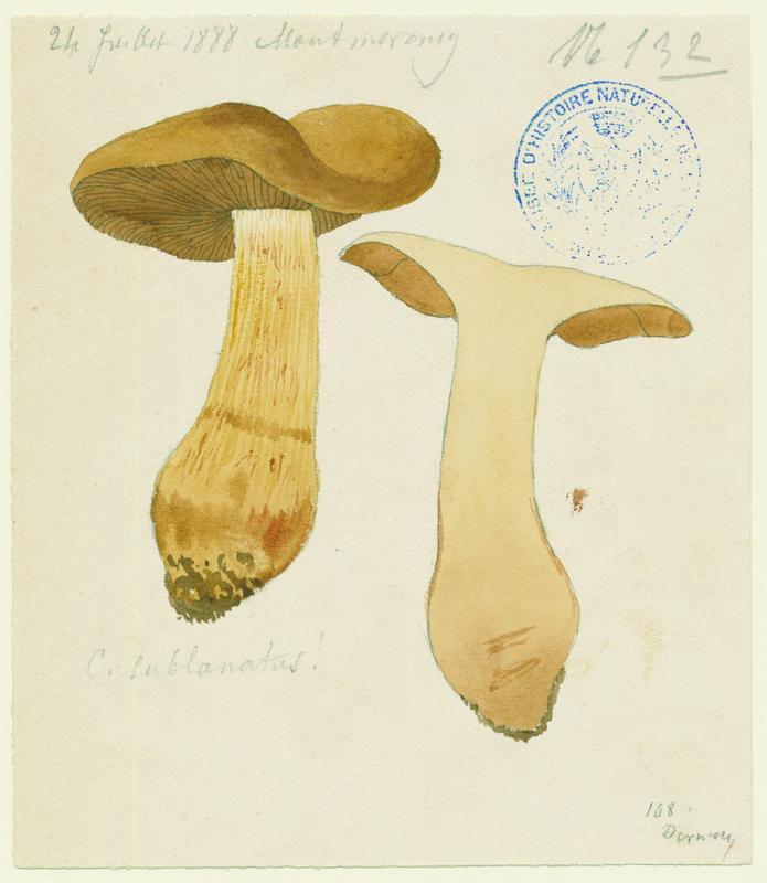 Cortinaire cotonneux ; champignon_0