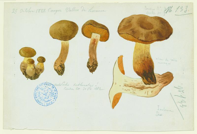 Cortinaire cotonneux ; champignon