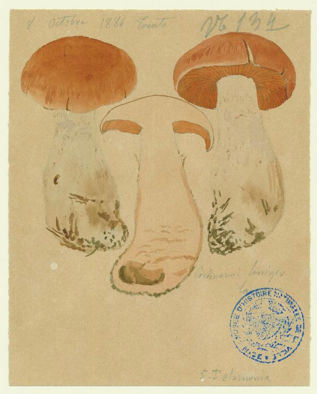 Cortinaire à pied laineux ; champignon_0