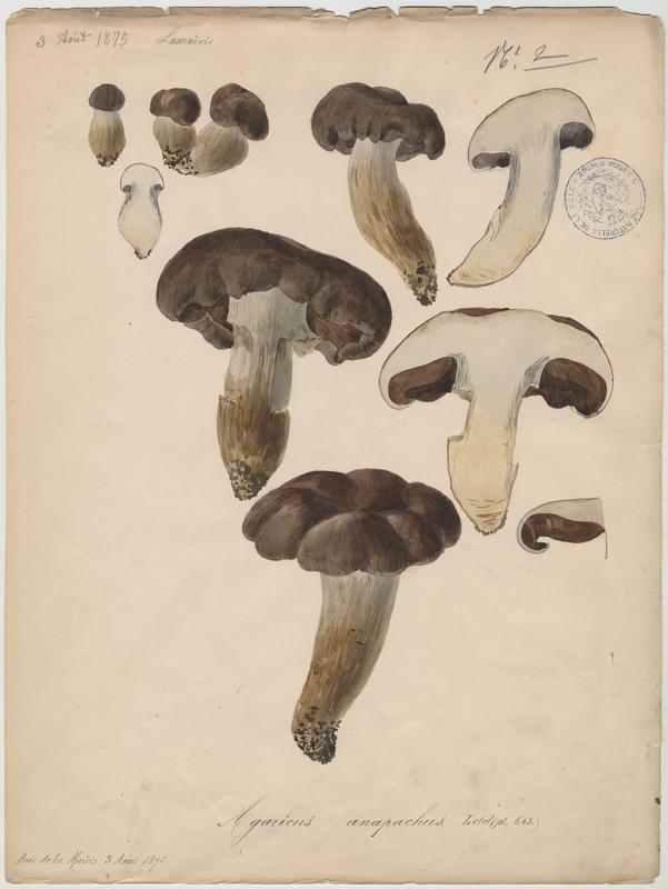 Agaric grossissant ; champignon