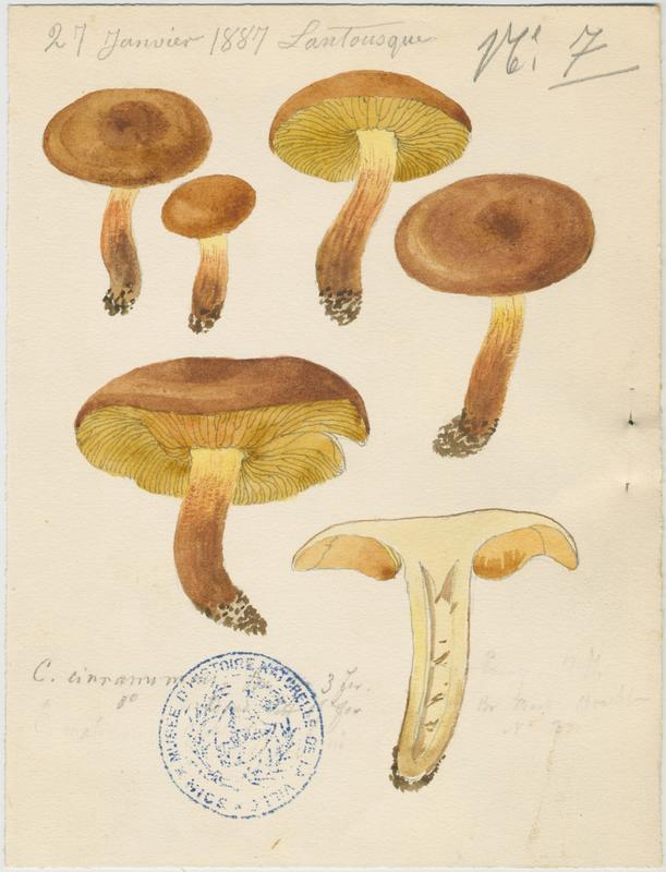 Cortinaire à lames cannelle ; champignon_0
