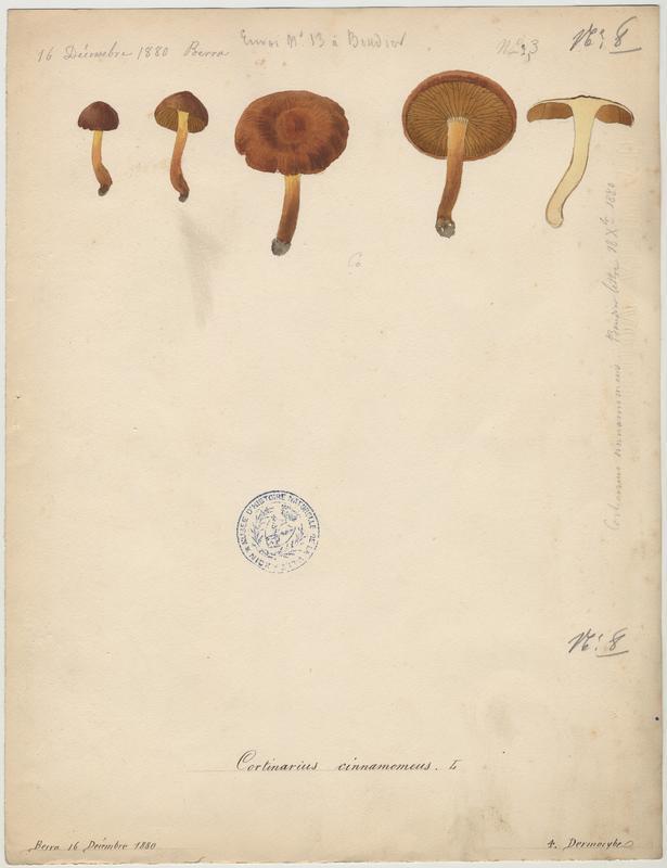 Cortinaire à lames cannelle ; champignon