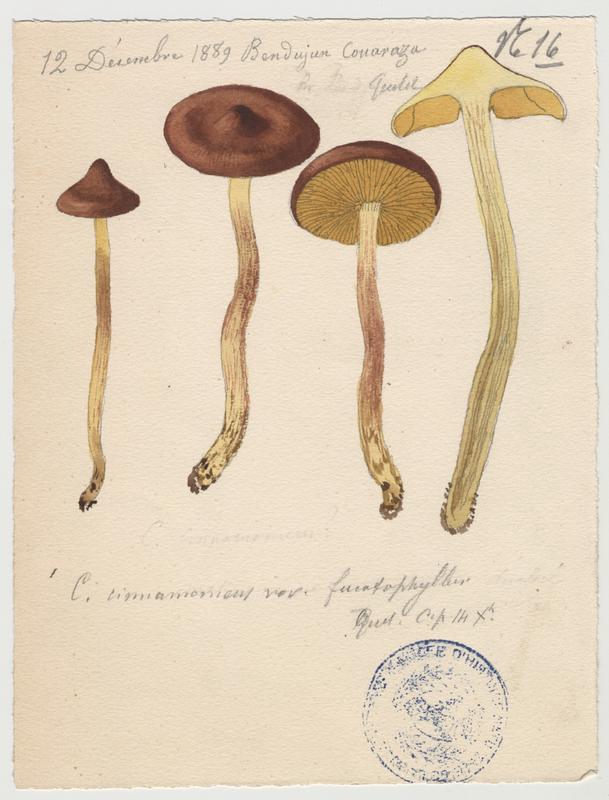 Cortinaire à lames cannelle (?) ; champignon_0