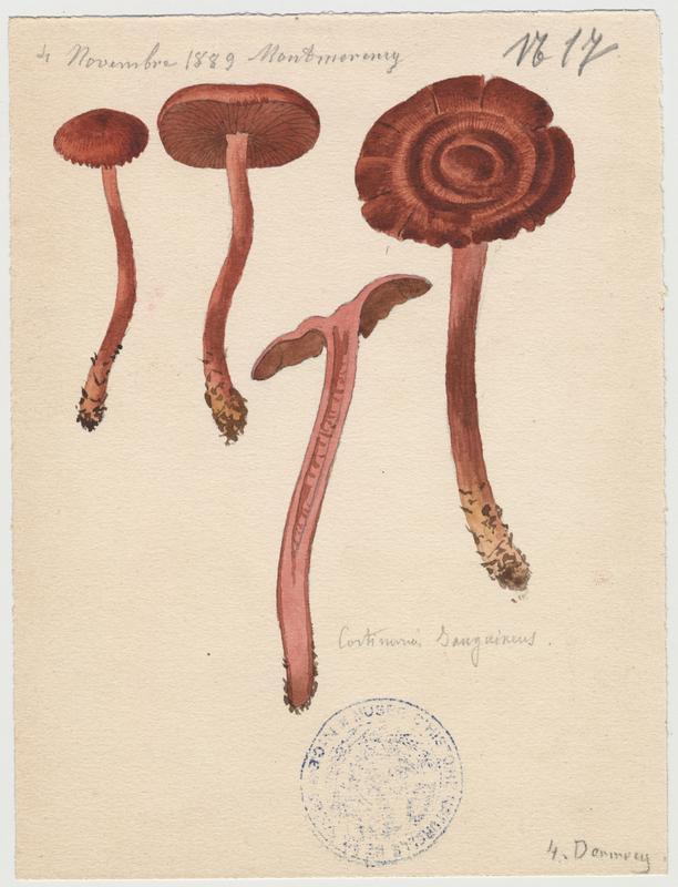 Cortinaire sanguin ; champignon