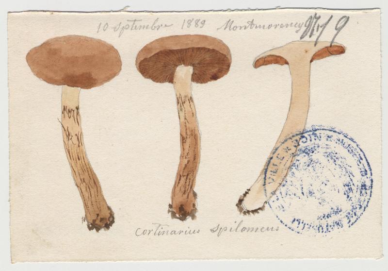 Cortinaire tacheté ; Cortinaire à pied guirlandé ; champignon_0