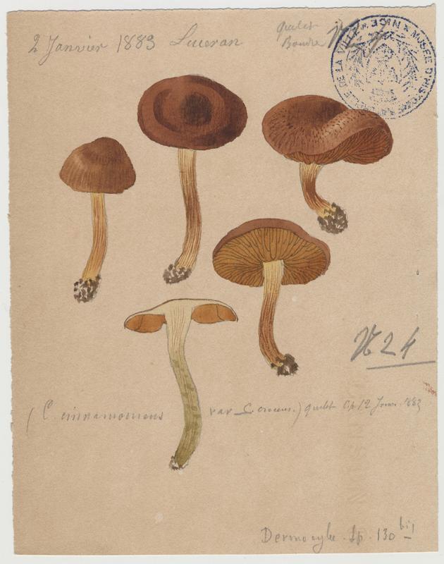 Cortinaire à lames cannelle (?) ; champignon